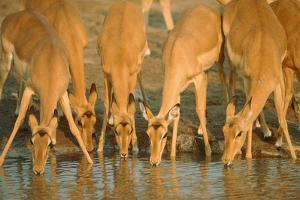 Several Impalas Drinking at a Watering Place (Botswana) by Theo Allofs