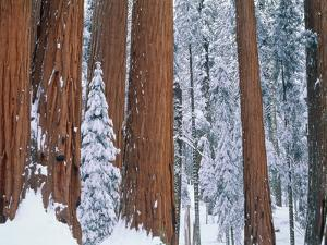 Snow covered redwood trees in winter, Yosemite, USA by Theo Allofs