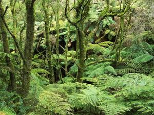 Temperate Rain Forest in Australia's Otway Range by Theo Allofs