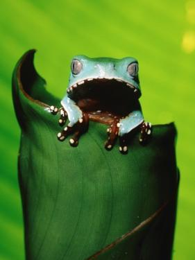 Two-colored tree frog on leaf by Theo Allofs