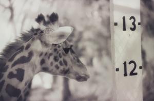 13' Giraffe by Theo Westenberger