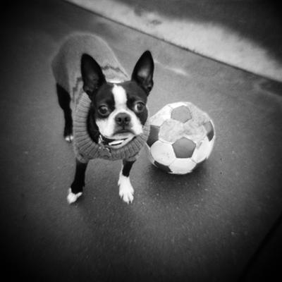 Boston Terrier with Soccer Ball by Theo Westenberger