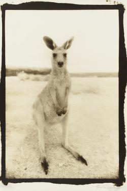 Cute Roo, Australia by Theo Westenberger