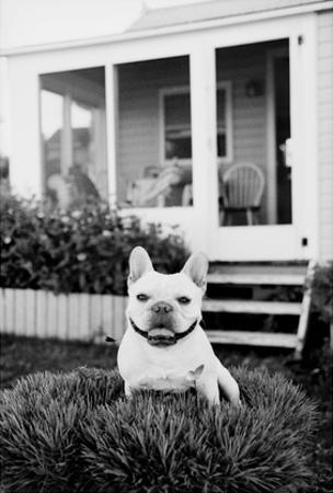 French Bulldog Southampton NY