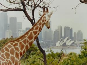 Giraffe at the Sydney Opera House by Theo Westenberger
