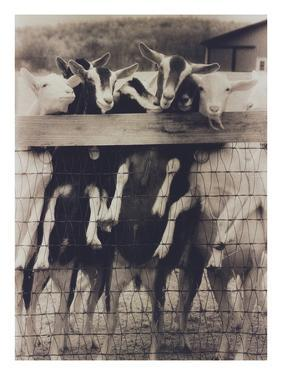 Goat Chorus Line by Theo Westenberger