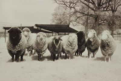 Sheep Committtee