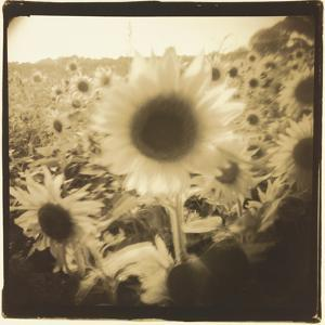 Sunflowers, Spain by Theo Westenberger