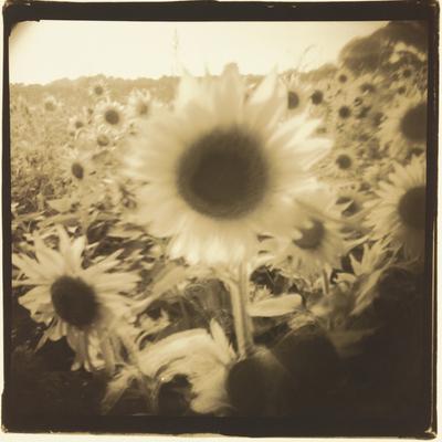 Sunflowers, Spain