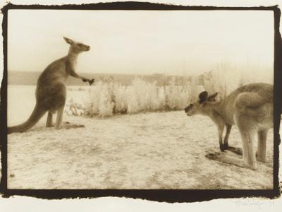 T Rex Roos, Australia