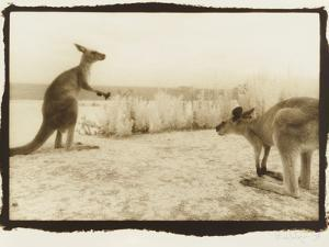 T Rex Roos, Australia by Theo Westenberger