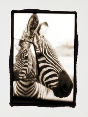 Zebra in the Mirror 2 by Theo Westenberger