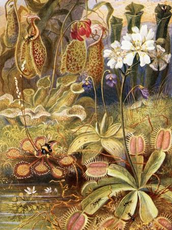 A Group of Carnivorous Plants, Illustration from 'Wonders of Land and Sea' by Graeme Williams by Theobald Carreras