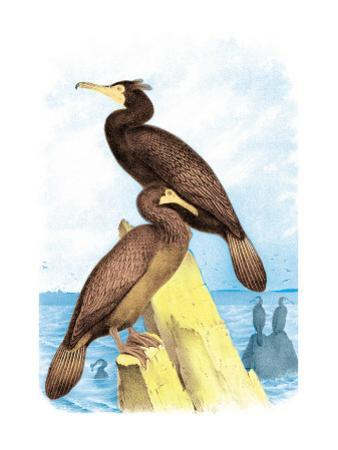 Townsend's Cormorant by Theodore Jasper