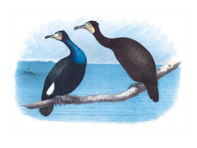 Violet Green Cormorant and Florida Cormorant by Theodore Jasper