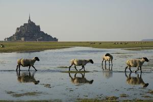 Breeding Sheep Salt Marsh in the Bay of Mont-Saint by Thierry Pix