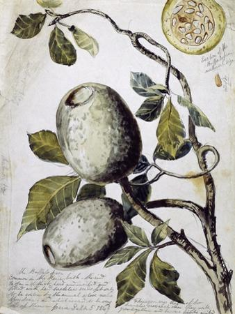 Branch of Buffalo Pear Tree, Showing Fruit and Leaves, 1849 by Thomas Baines