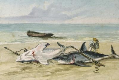 Man Measuring Two Dead Sharks on a Beach, Walvis Bay, Namibia, 1861 by Thomas Baines