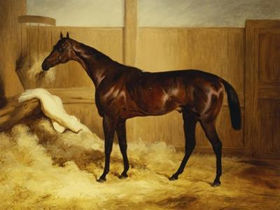 Mr. F.I. Popham's Brown Colt, 'Wild Dayrell' in a Loose Box