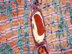 Cardiac Muscle And Capillary, TEM by Thomas Deerinck