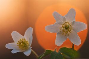 Anemone Flowers in Backlight by Thomas Ebelt