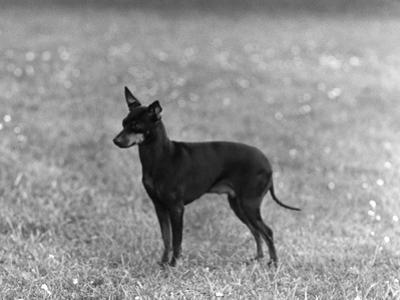 English Toy Terrier - Fall by Thomas Fall
