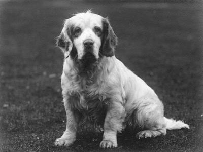Fall, Clumber Spaniel, 36 by Thomas Fall