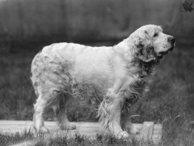 Fall, Clumber Spaniels, 27 by Thomas Fall