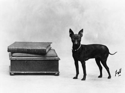 Fall, English Toy Terrier by Thomas Fall