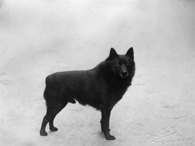 Fall, Schipperke, 1932 by Thomas Fall