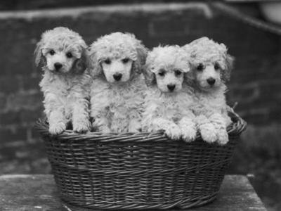 "Four ""Buckwheat"" White Minature Poodle Puppies Standing in a Basket by Thomas Fall"