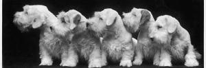 Group of Five Sealyham Puppies Looking Away from the Camera by Thomas Fall