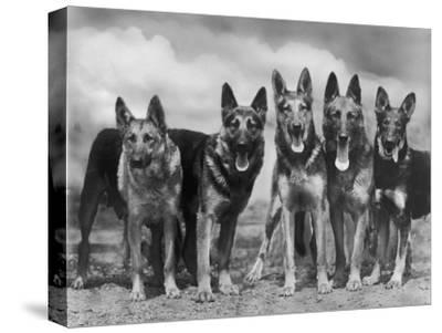 "Group of Mrs Leslie Thornton's Celebrated ""Southdown"" Alsatians by Thomas Fall"