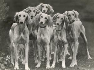 Group of Salukis Registered in Miss Doxford's First Litter by Sarona Kelb Ex Tazi of Ruritania Born by Thomas Fall