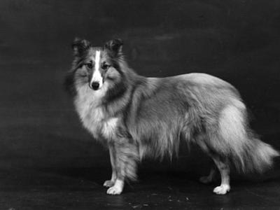 Hallinwood Golden Fetter, Shetland Sheepdog by Thomas Fall