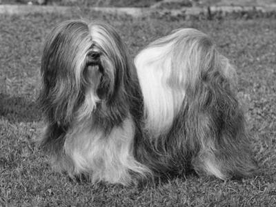 Lhasa Apso Ch Cheska Alexander of Sternroc by Thomas Fall