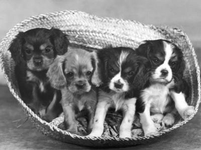 These Four Cavalier King Charles Spaniel Puppies Sit Quietly in the Basket by Thomas Fall