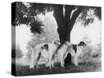 Three Mythe Borzois Belonging to Miss E.M. Robinson Standing Under a Tree by Thomas Fall