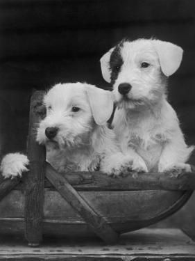 Two Unnamed Sealyhams Sitting in a Trug by Thomas Fall