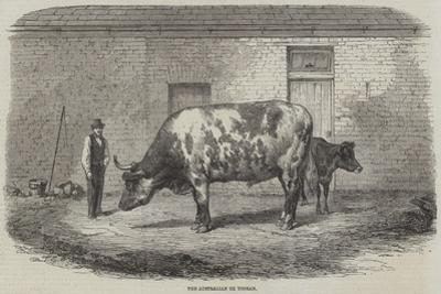 The Australian Ox Tooran by Thomas Harrington Wilson