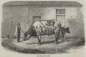 The Australian Ox Tooran by Thomas Harrington Wilson