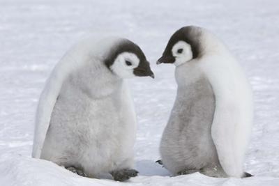 Emperor Penguin Chicks by Thomas Kokta