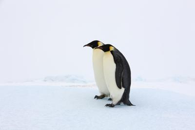 Two Adult Emperor Penguins Standing Side by Side. by Thomas Kokta