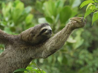 Brown-Throated Three-Toed Sloth (Bradypus Variegatus), Amacayacu National Park, Colombia by Thomas Marent