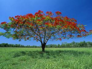 Acacia (Acacia Sp) Tree Flowering, Litchfield Nat'l Park, Australia by Thomas Marent/Minden Pictures