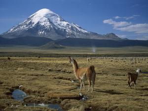 Alpaca (Lama Pacos) Mother and Young in Grassland Near Volcano, Lauca Nat'l Park, Chile by Thomas Marent/Minden Pictures