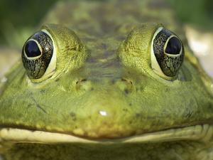 American Bullfrog (Rana Catesbeiana) Portrait, Reserva Natural Laguna De Sonso, Colombia by Thomas Marent/Minden Pictures