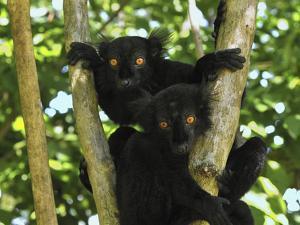Black Lemur (Lemur Macaco) Males, Lokobe Nature Special Reserve, Madagascar by Thomas Marent/Minden Pictures