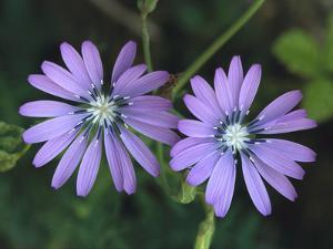 Blue Lettuce (Lactuca Perennis) Flowers, Switzerland by Thomas Marent/Minden Pictures
