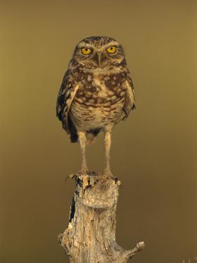 Burrowing Owl (Athene Cunicularia) Perched on Stump, Los Llanos, Venezuela by Thomas Marent/Minden Pictures